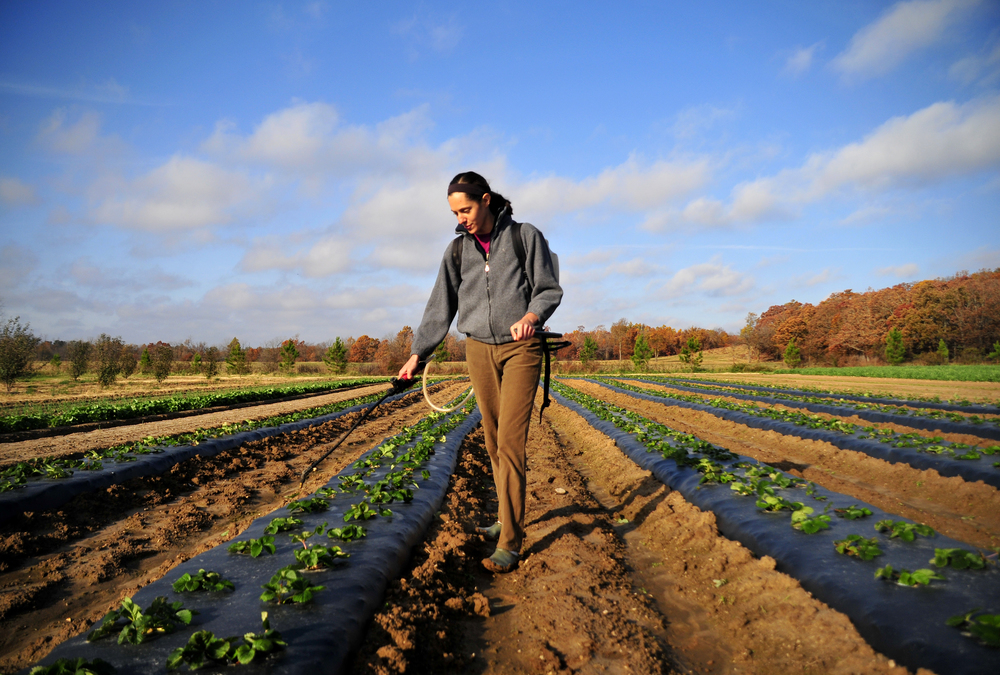 "Emily Oakley sprays an organic Sea Kelp and fish emulsion on strawberry plants that will be harvested next spring on Three Springs Farm in Oaks Oklahoma. ""We only use completely organic fertilizers on our produce so that our customers know exactly what they are going to get"" said Oakley. Nick Oxford for The New York Times"