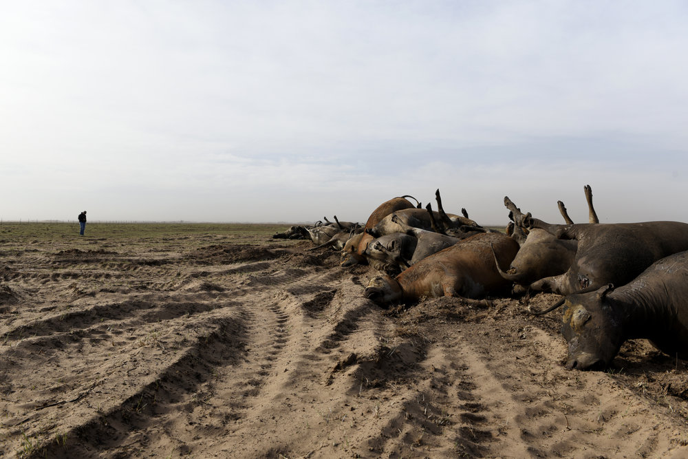 Garth Gardiner stands in the distance near a row of dead cattle waiting to be buried on his ranch outside of Ashland Kansas. Gardiner lost nearly 500 cattle after wildfires swept through parts of Kansas, Texas and Oklahoma last week.  Nick Oxford for The New York Times