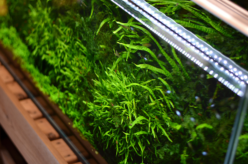 Aquarium-Zen-Seattle-Fish-Store-Aquatic-Plants-Java-Fern