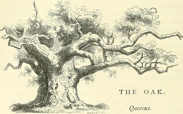 old-oak.jpg
