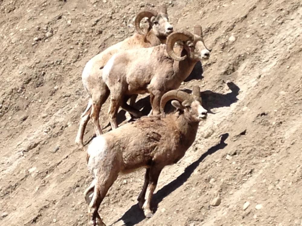 Big Horn Rams