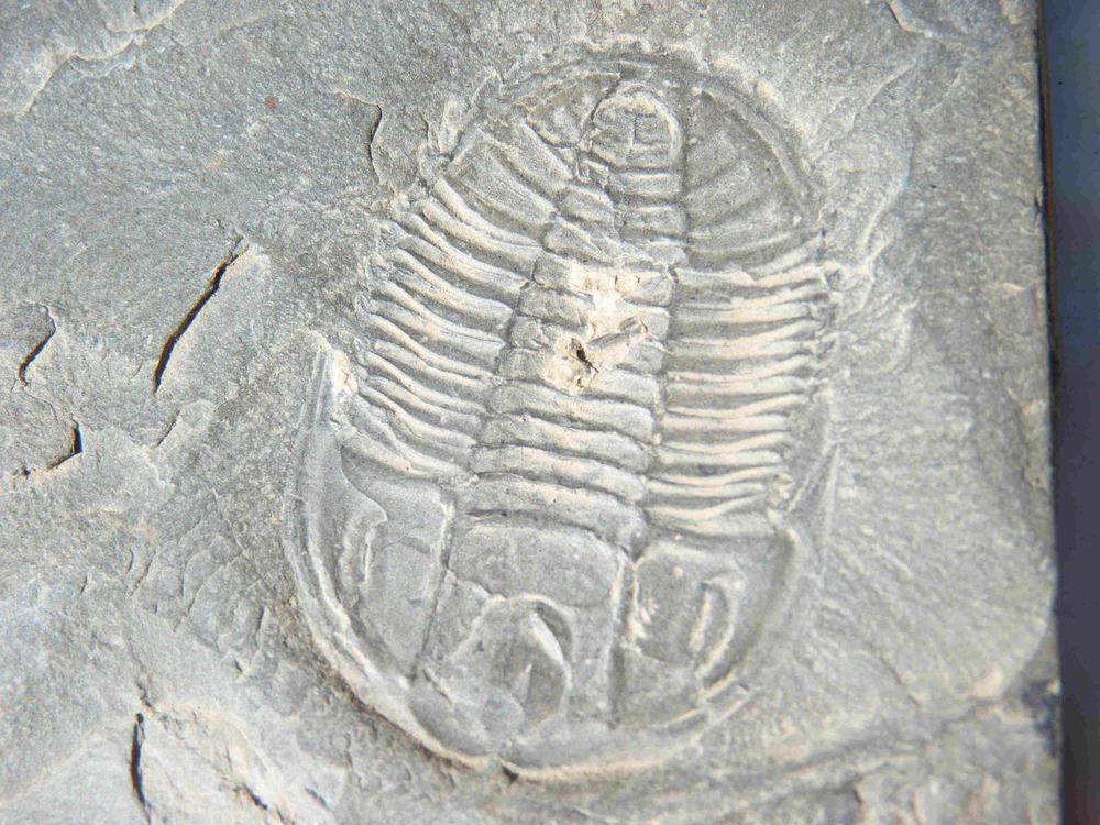 505 million year old trilobite, Burgess Shale, Yoho National Park