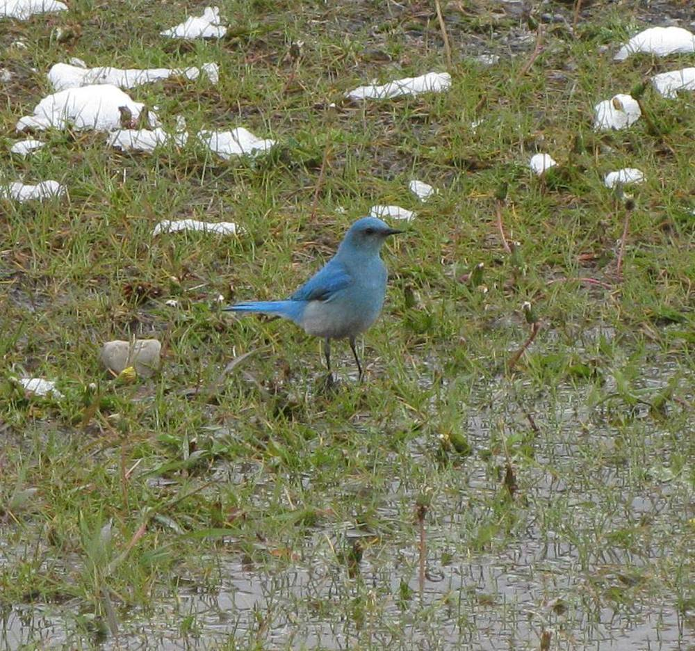 Mountain Bluebird - as seen on the hike into downtown Canmore.