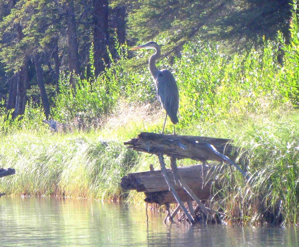 Great Blue Heron, on the Bow River.