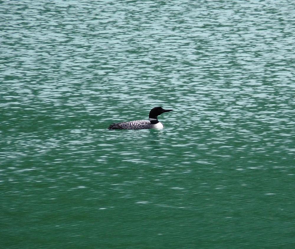 Common Loon, Medicine Lake, Jasper