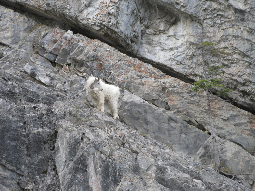Mountain Goat, near Goat Creek of all places! Kananaskis Country