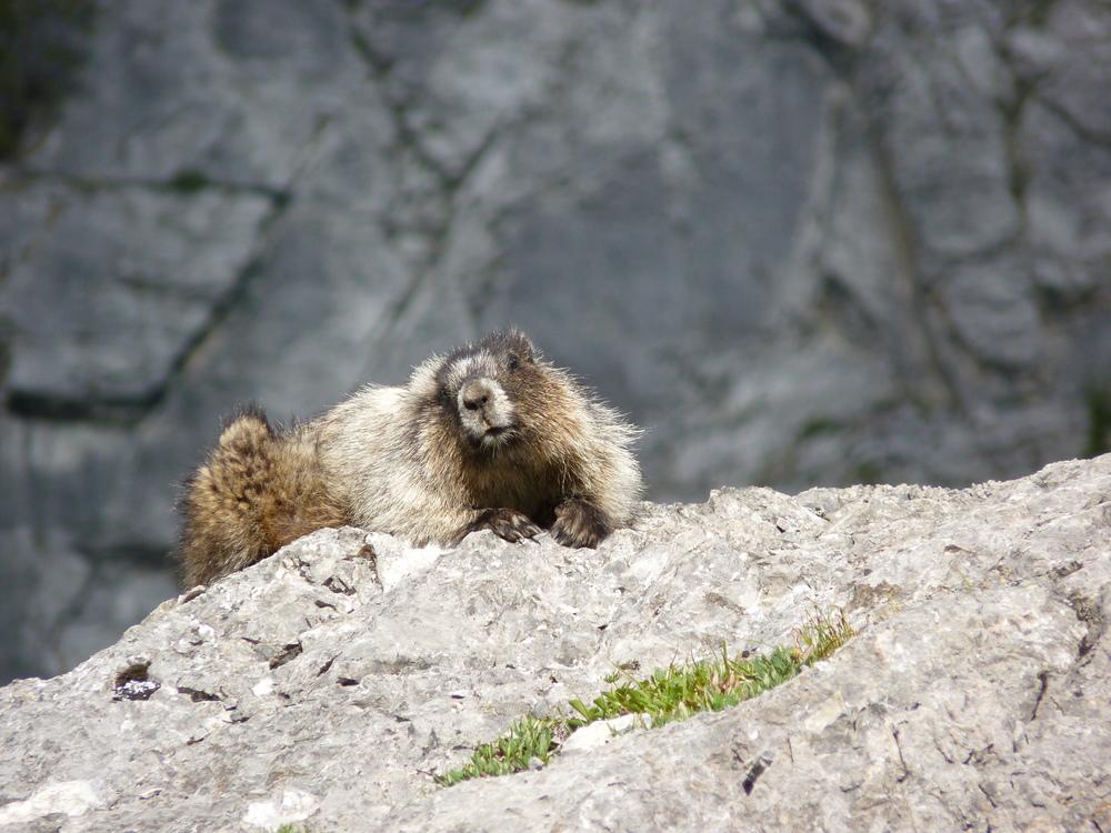 Hoary Marmot; Old Goat Glacier hike, Kananaskis
