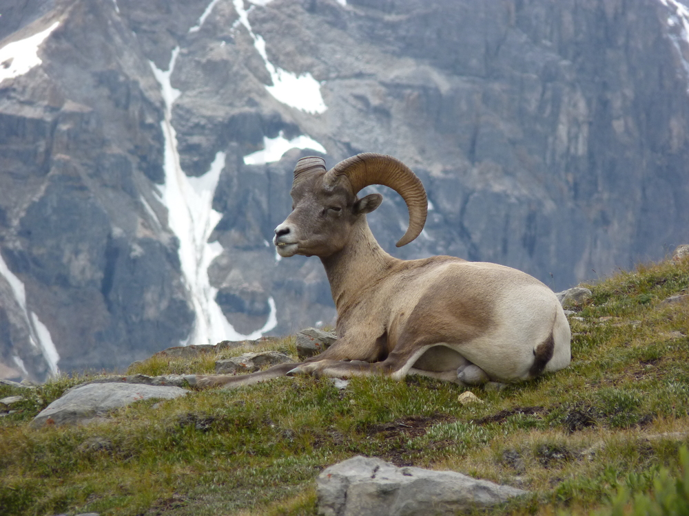 Big Horn ram, Mt Wilcox