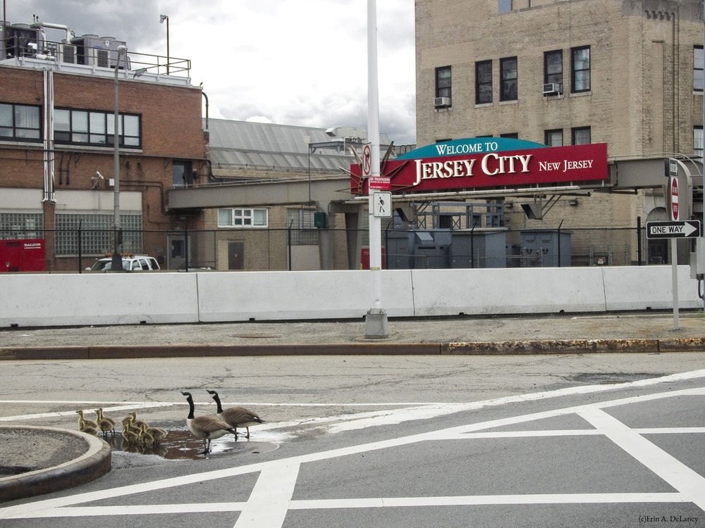 Jersey City Goose Family, 2014