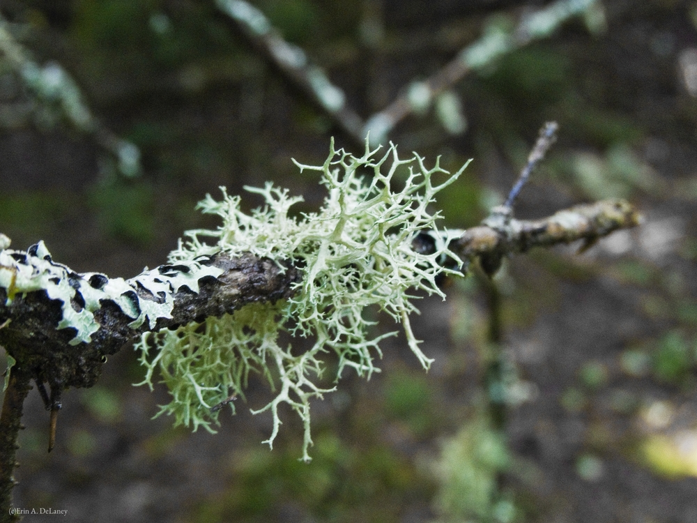 Lichen on Tree Branch, 2012