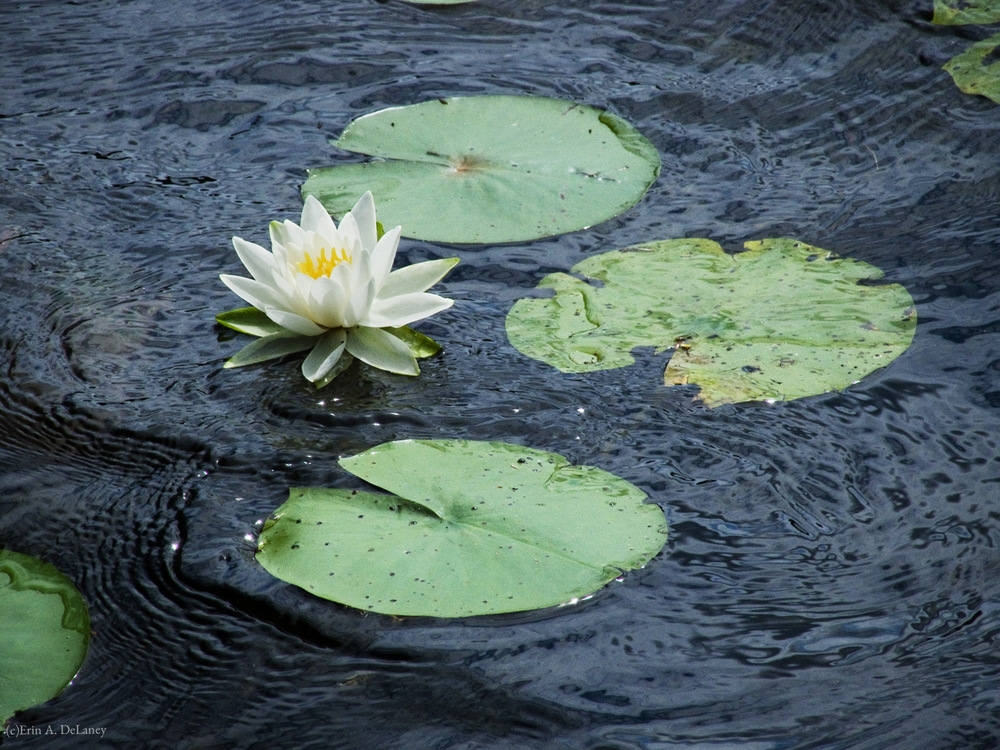 Water Lily and Lily Pads in the Rain, 2012
