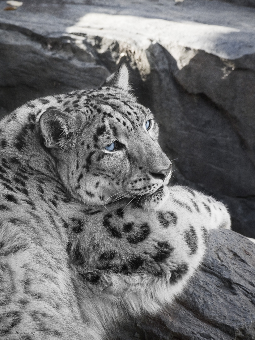 Snow Leopard Icy Stare, 2013