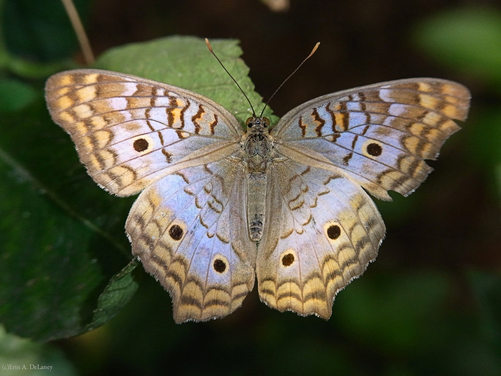 White Peacock Butterfly, 2010