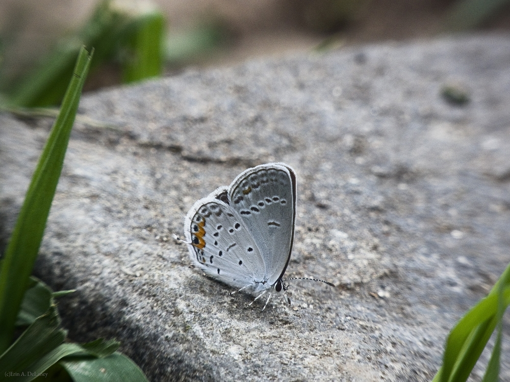 Eastern Tailed Blue Butterfly Resting on a Rock, 2014
