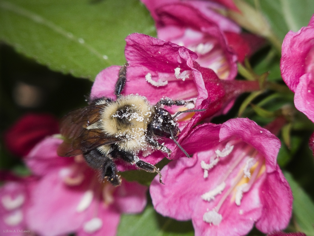 Honeybee on Weigela Bush, 2014