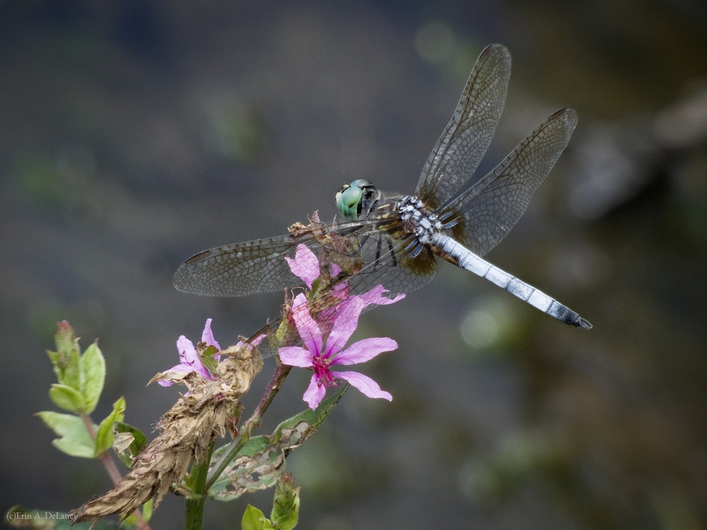 Blue Dasher Dragonfly Resting on Purple Loosestrife Flower, 2013