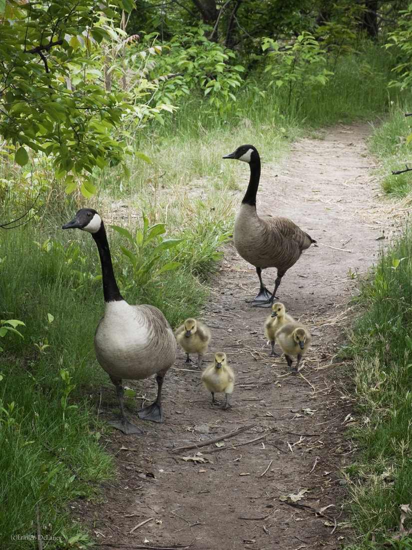 Goose Family Out for a Stroll, 2013
