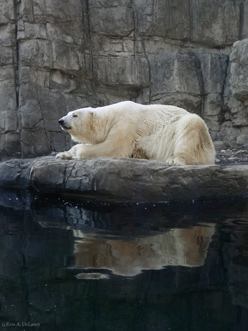 Polar Bear with Reflection, 2012