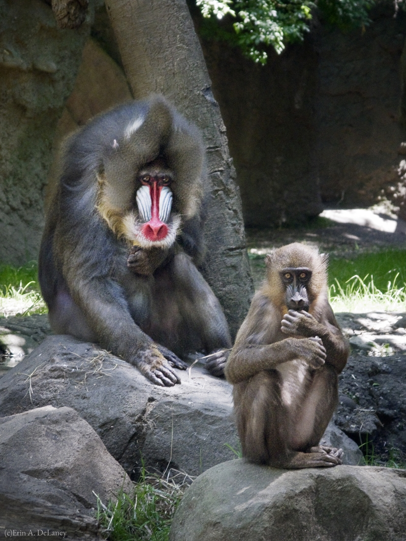 Mandrill Monkeys, 2014