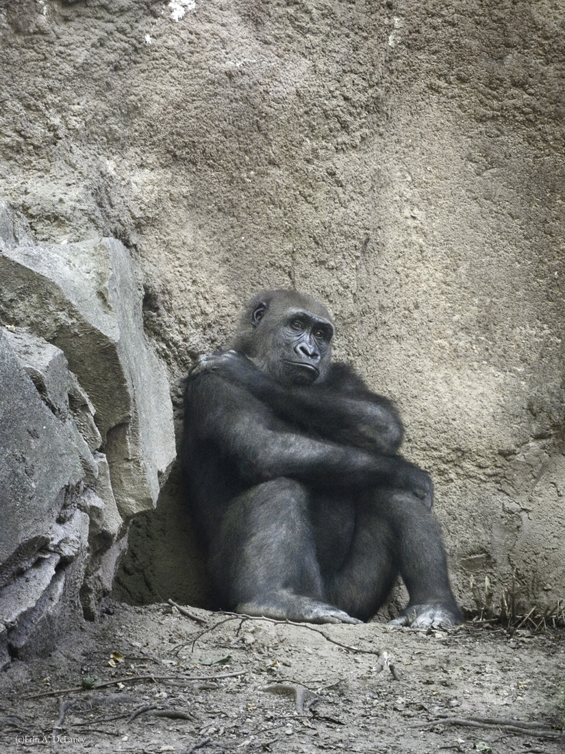 The Gorilla Thinker, 2014