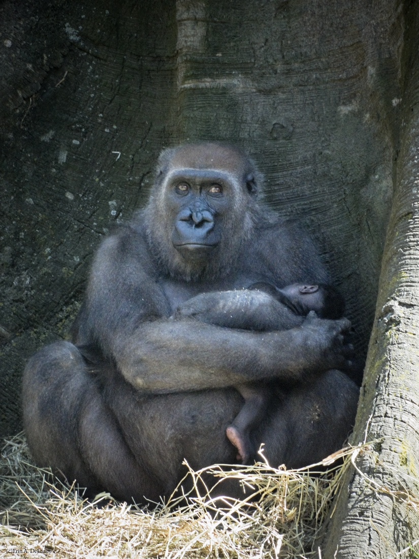 Gorilla Mother with Babe in Arms, 2014