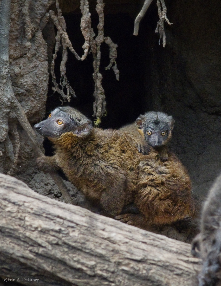 Collared Brown Lemur with Baby, 2012