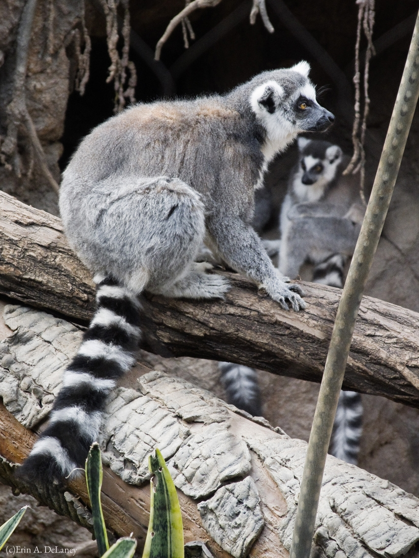 Ring Tailed Lemur Troop, 2014