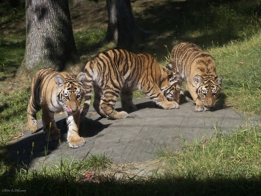 A Trio of Tiger Cubs, 2012