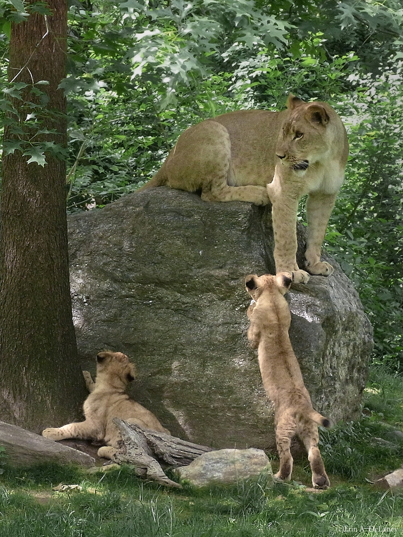 Lion Cubs Rock Climbing, 2010
