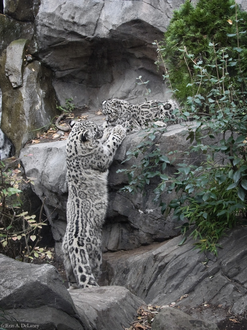 Snow Leopard Mother and Cub, 2013