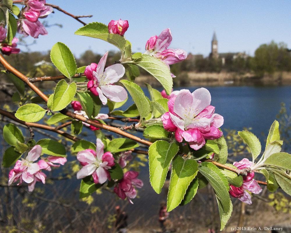 JC Reservoir Vista Crab Apple Blossoms, 2013