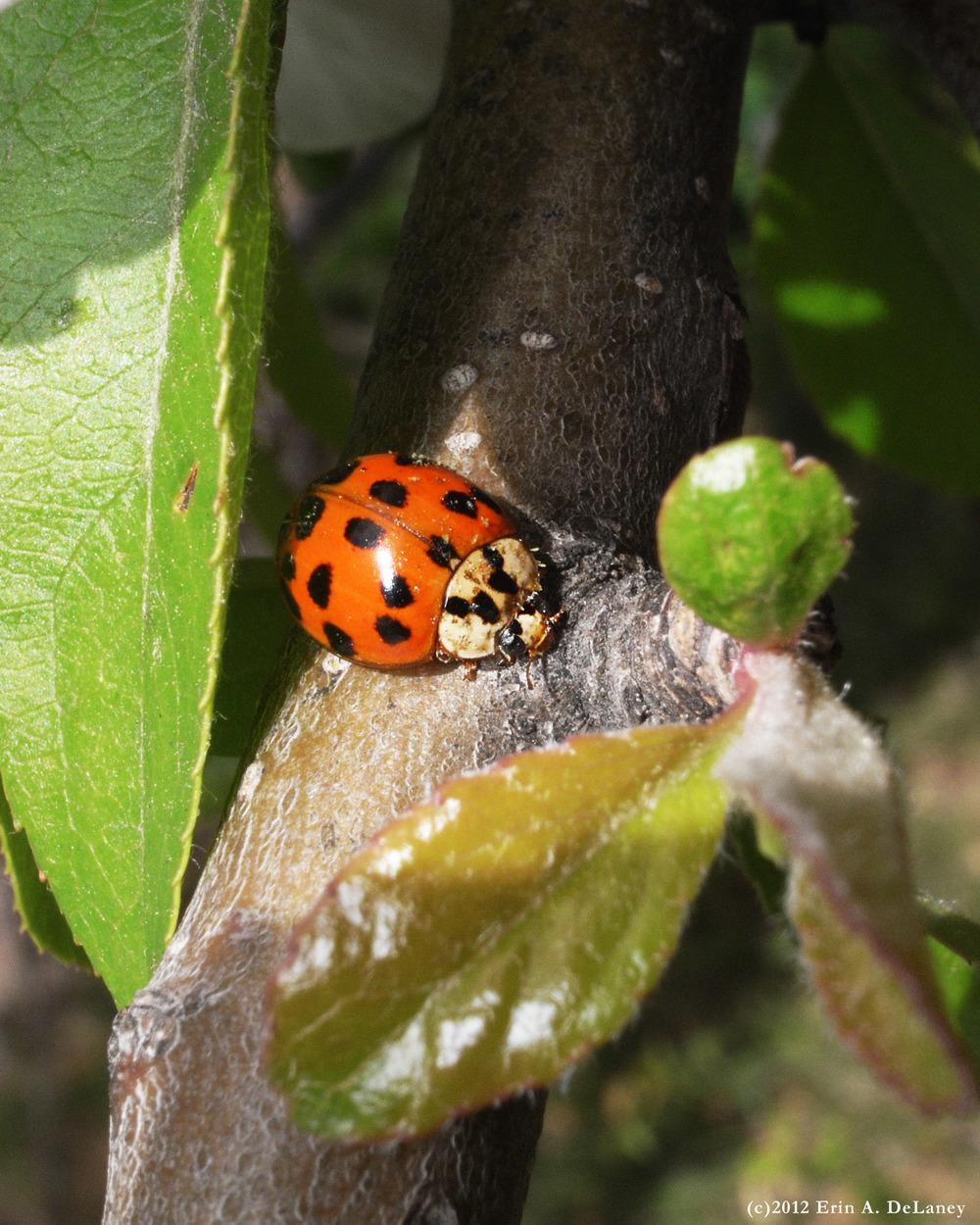 Shy Ladybug, 2012