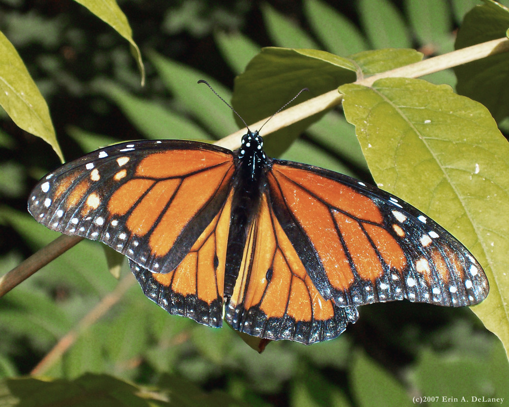 Monarch Basking on a Cherry Tree, 2007