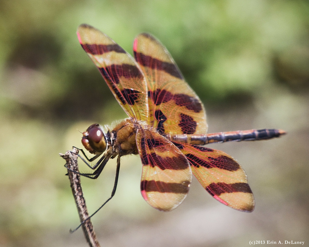 Halloween Pennant Dragonfly, 2013