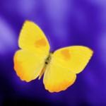 YellowButterfly-1