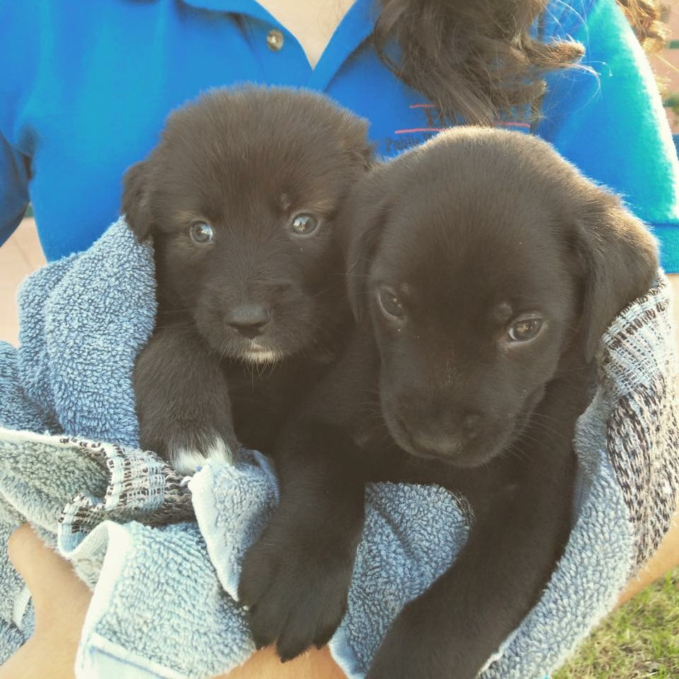 10.29 lab pups.JPG