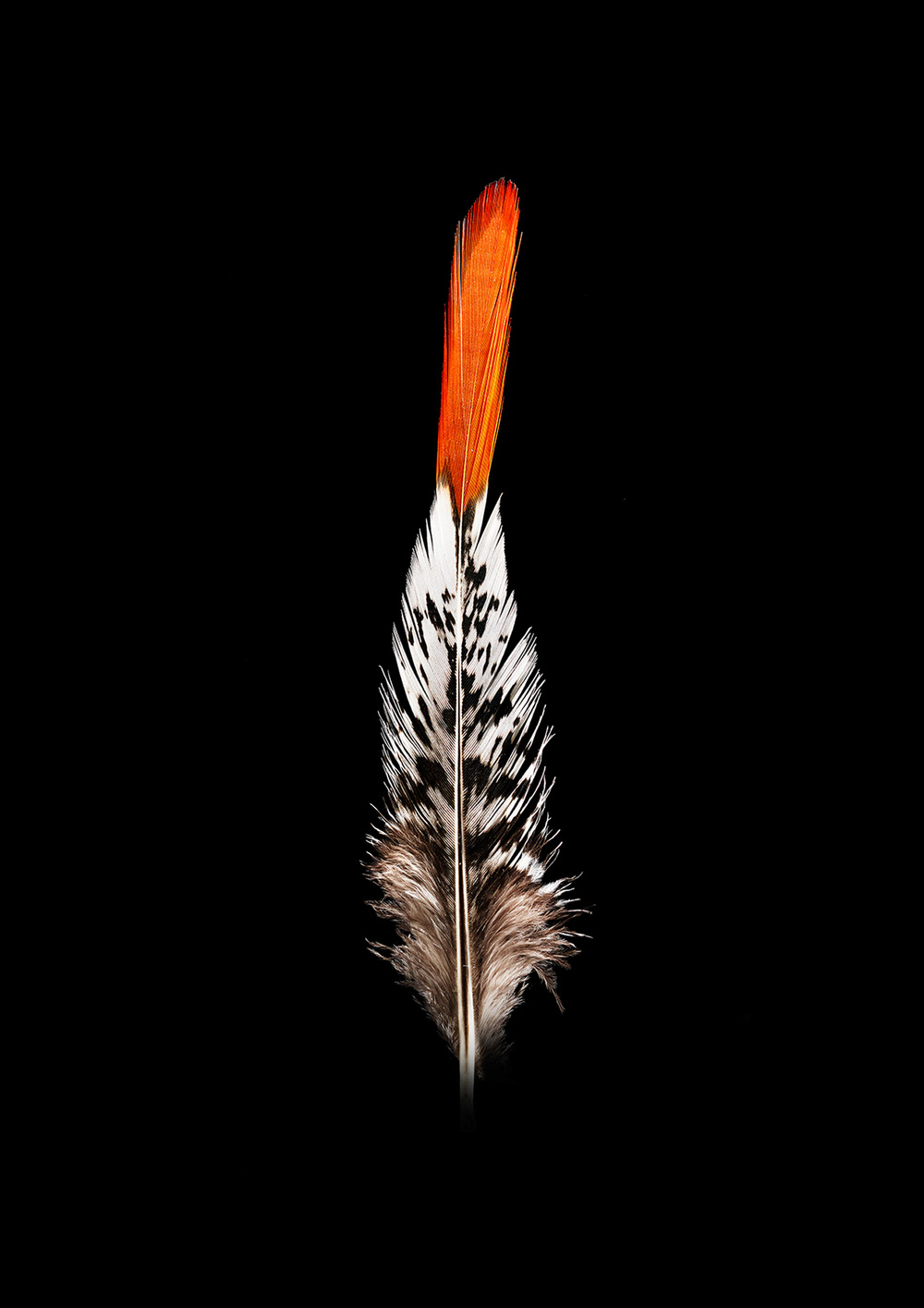 Chris Hoare - Feather