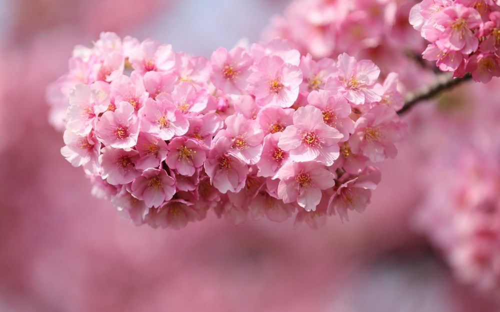 6905714-cherry-flowers-pink-petals-twigs-close-up.jpg