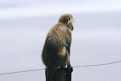 Cheeky Monkey, Lake Naivasha