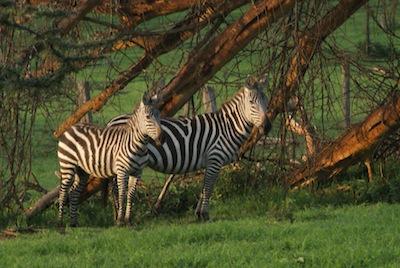 Zebras in Naivasha