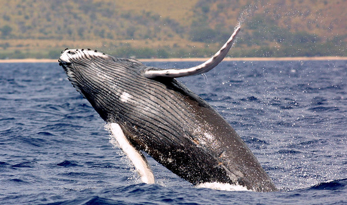 Paikea is also the Maori word for the humpback whale.  Photo : U.S. National Oceanic and Atmospheric Administration. Public Domain.