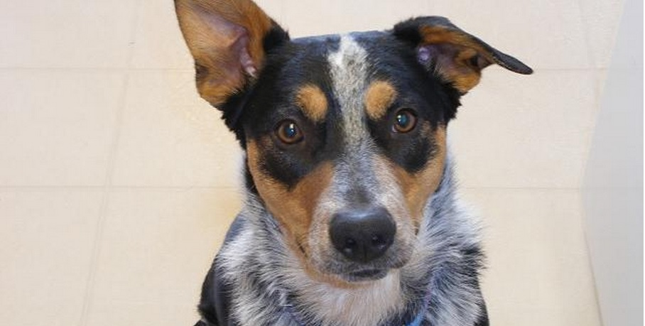 Not the dog, dude. I don't care if you told me by page 3 he was over 10 years old already. Get your own loyal Jasper and adopt this guy, Zeke, from Australian Cattle Dog Rescue Association
