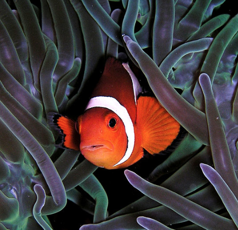 An ocellaris clownfish, not the real Nemo or his father. Photo by Nick Hobgood, May 25, 2004. cc by-SA3.0.