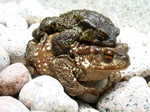 Bufo bufo couple during migration(2005).jpg, Uploaded by Janek, 28 May 2005, CC BY-SA 3.0