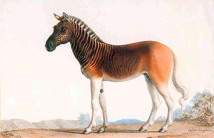 A painting by Nicholas Marechal of King Louis XVl's Quagga, a subspecies of zebra that went extinct in the 1870's, from his royal menagerie in Versailles. (Painted in 1793, when Louis himself was extinct.)