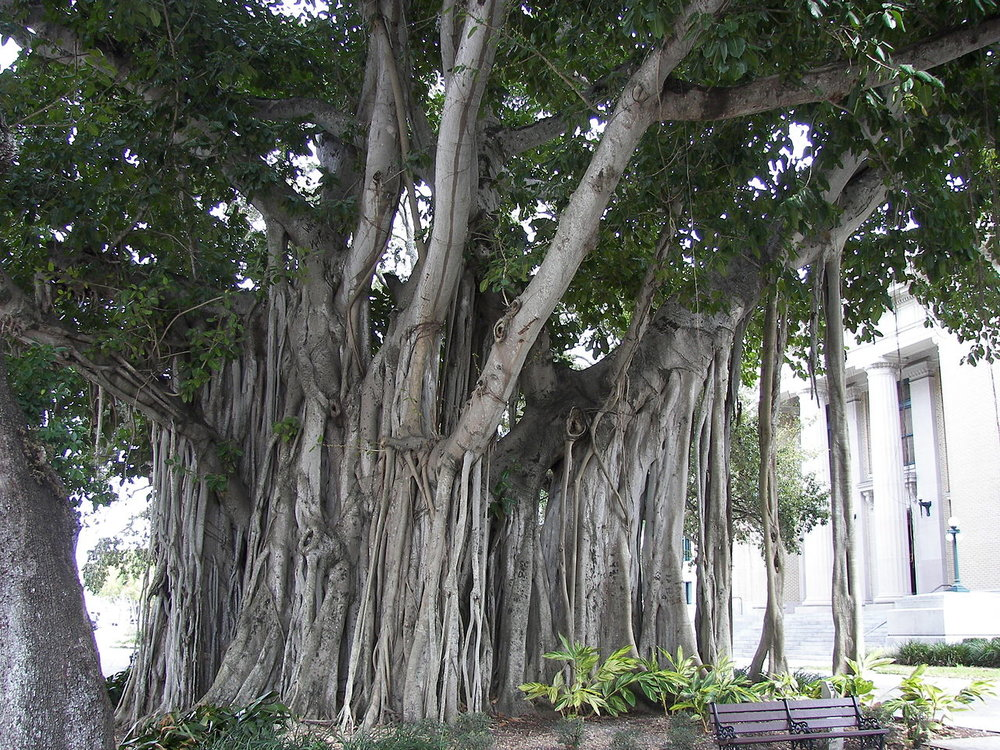 1280px-Banyan_tree_Old_Lee_County_Courthouse.jpg