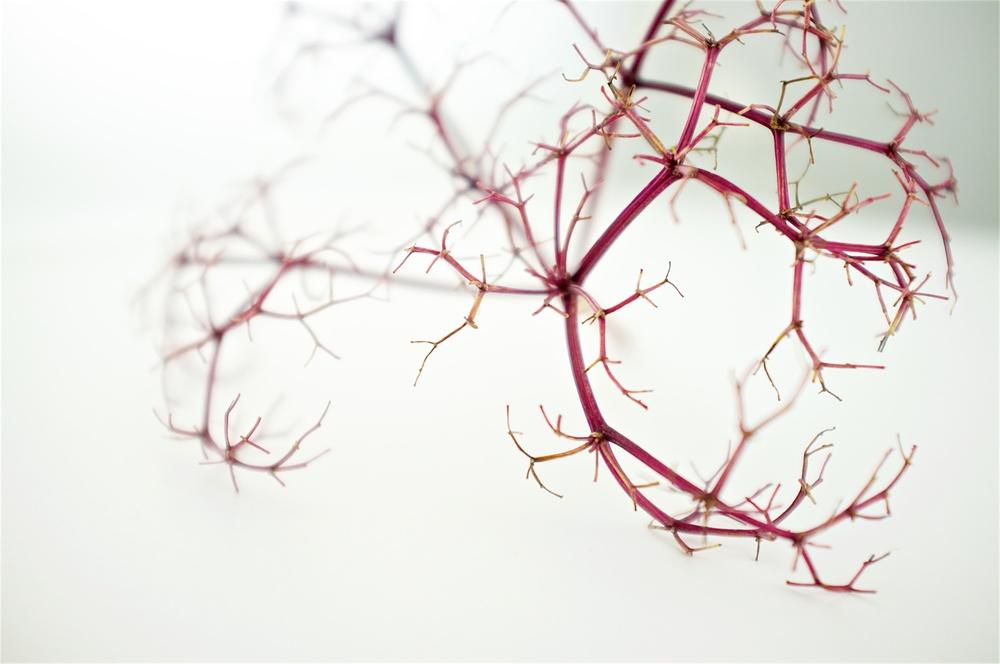 Elderberries 4.jpg