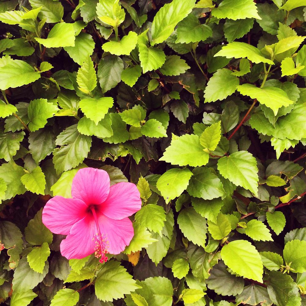hibiscus-flower.jpg
