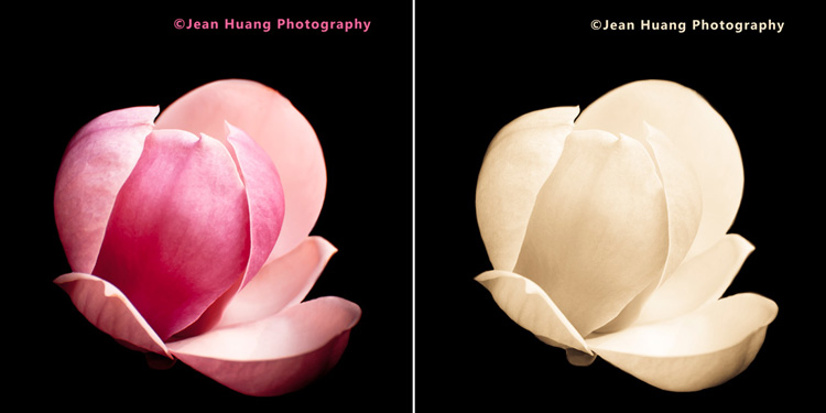 Beautiful magnolia at the Huntington Library - ©Jean Huang Photography