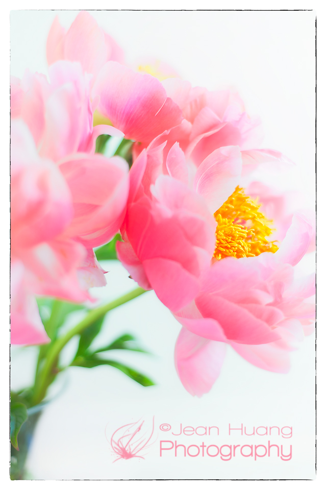 Peonies for Happy Father's Day - ©Jean Huang Photography